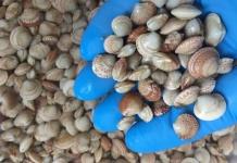 almeja de cultivo