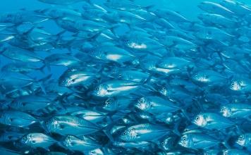 ¿Puede ser el jurel un recurso renovable? Lanzan manual de buenas prácticas en la pesca para asegurar su sostenibilidad